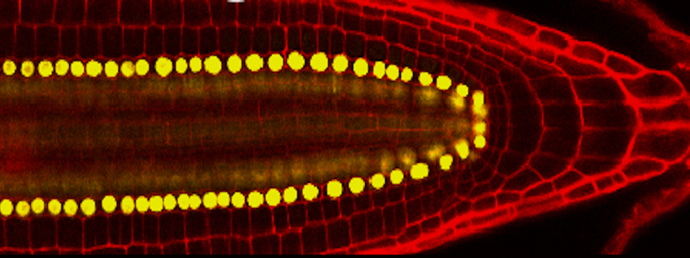 <em>Arabidopsis</em> regeneration